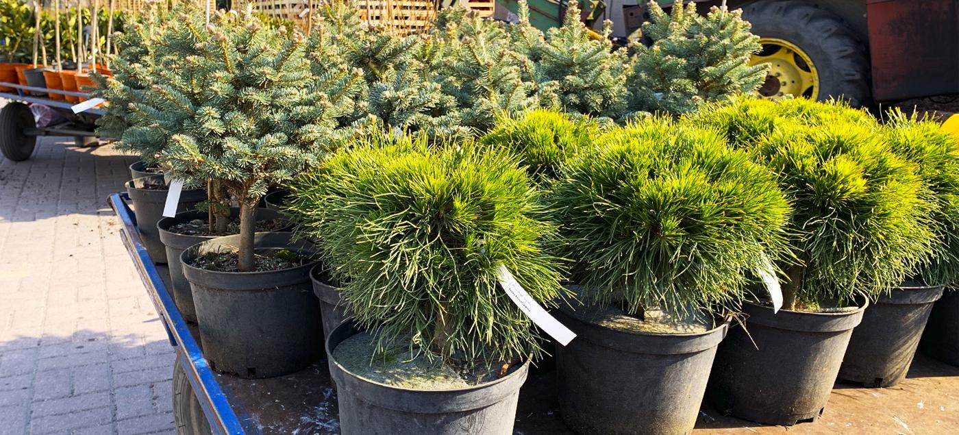 Поштучная поставка растений из питомников Европы