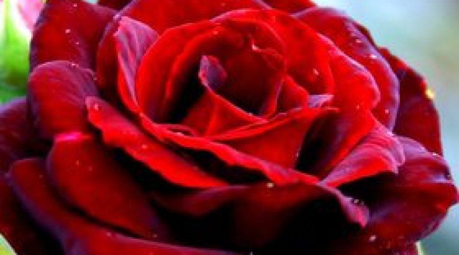 Польские розы